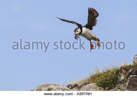Atlantic puffin, Common puffin (Fratercula arctica), flying with fishes in the beak landing, United Kingdom, Scotland