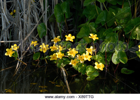 Kingcup or marsh marigold Caltha palustris flowers in spring in garden pond - Stock Photo