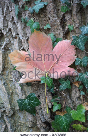 Norway maple leaf in autumn, Acer platanoides - Stock Photo