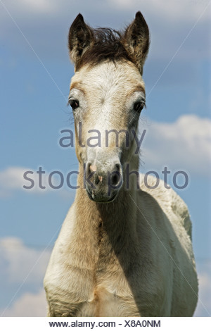 connemara foal - portrait - Stock Photo