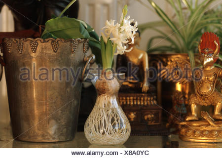 Jacinthe (Hyacinthus orientalis), in a glass - Stock Photo