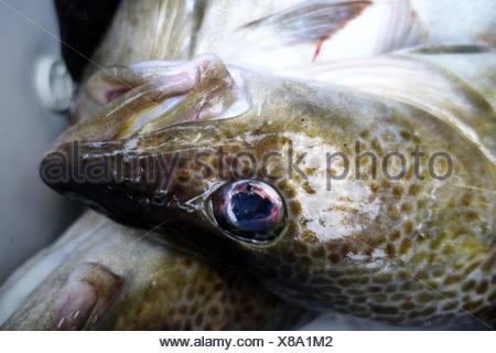 Wismar, Germany, head of a freshly caught cod - Stock Photo