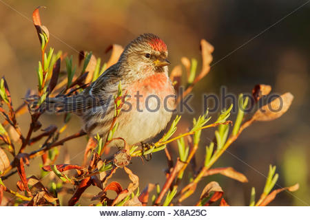 Common Redpoll (Carduelis flammea) perched on a branch in Nome, Alaska. - Stock Photo