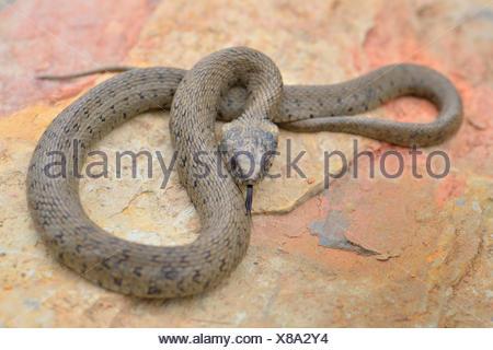 Iberian grass snake (Natrix natrix astreptophora), defensive posture, darting its tongue on rock, Portugal - Stock Photo