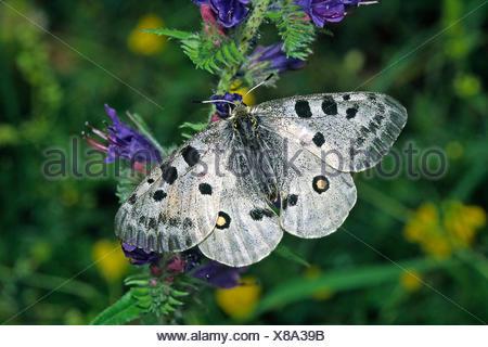 parnassius apollo,apollo,apollo butterfly - Stock Photo