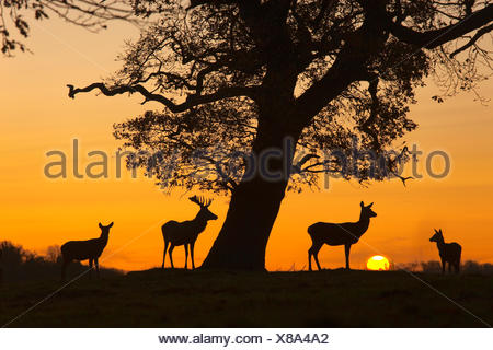 Red Deer - Cervus elaphus - Stock Photo