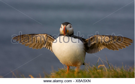Atlantic puffin, Common puffin (Fratercula arctica), with wings outstretched, Iceland, Latrabjarg