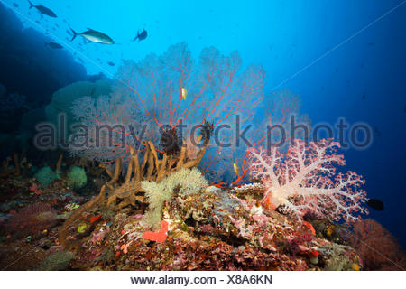 Very varied coral reef, Russell islands, the Solomon Islands - Stock Photo