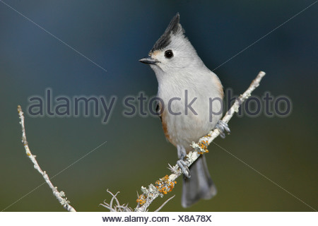 Black-crested Titmouse - Baeolophus atricristatus - Stock Photo