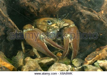Signal Crayfish - Pacifastacus leniusculus - Stock Photo