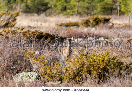 White-tailed Deer (Odocoileus virginianus), Barrie Island, Manitoulin Island, Ontario, Canada - Stock Photo