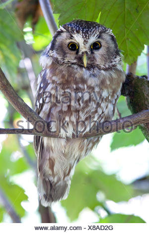 The boreal owl (Aegolius funereus) is a nocturn bird of prey that lives in the woods in the alps. Park of Baviera Bayerischewald. Germany Europe - Stock Photo