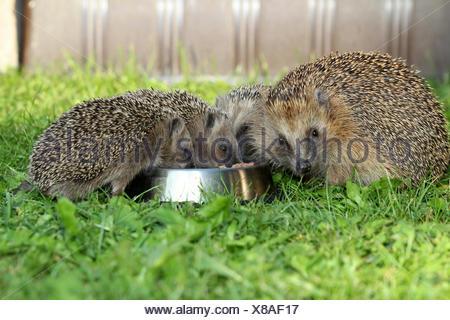 Hedgehog (Erinaceus europaeus), female and young animals, 4 weeks, feeding from feeding bowl in the garden, Allgäu, Bavaria - Stock Photo