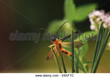 Cane borer (Oberea pupillata), sitting at leaves, Russia - Stock Photo