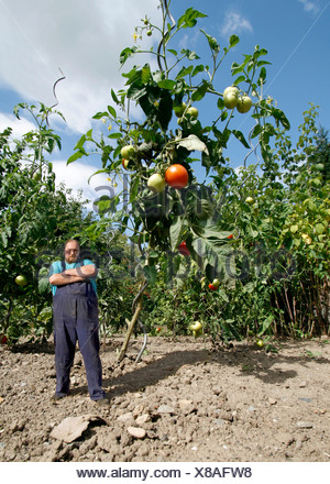 Farmer standing beside an oversized tomato plant, genetically modified food - Stock Photo