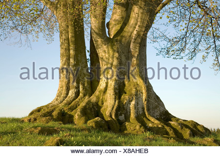 Lime or Linden Tree (Tilia), roots and trunk, Poecking, Upper Bavaria, Germany, Europe - Stock Photo