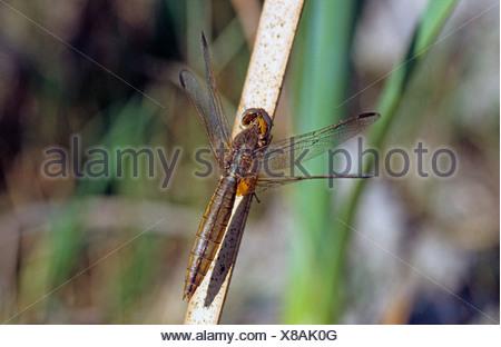 Broad Scarlet, Common Scarlet-darter, Scarlet Darter, Scarlet Dragonfly (Crocothemis erythraea, Croccothemis erythraea), female sitting at a stem, Germany - Stock Photo