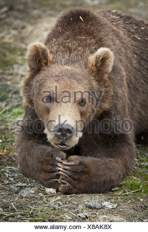 CAPTIVE: Male Kodiak Brown Bear cub resting with paws folded together, Alaska Wildlife Conservation Center, Alaska - Stock Photo