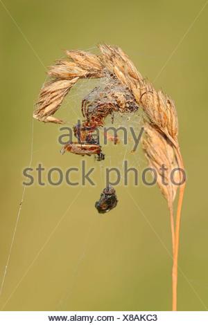 Furrow Orbweaver - Stock Photo