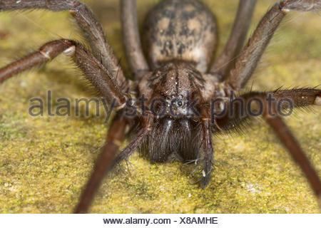 giant European house spider, giant house spider, larger house spider, cobweb spider (Tegenaria gigantea, Tegenaria atrica), female, Germany - Stock Photo