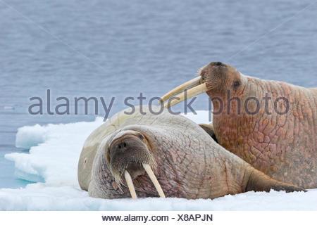 Atlantic walruses (Odobenus rosmarus rosmarus), resting on ice floe, Svalbard Archipelago, Arctic Norway. - Stock Photo