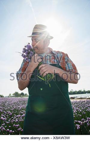 Germany, Hesse, Lampertheim, senior farmer harvesting chives, Allium schoenoprasum - Stock Photo