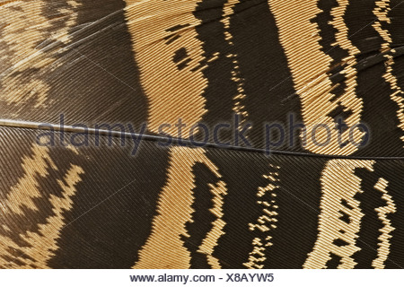 Great Bustard (Otis tarda) close-up of wing feather, Extremadura, Spain, spring - Stock Photo