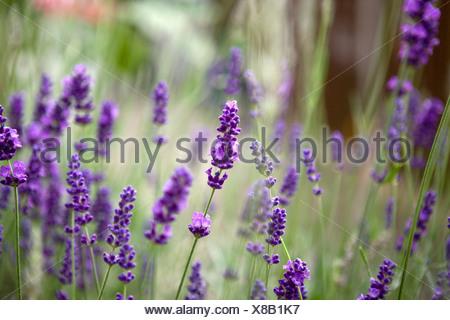 A Lavender plant - Stock Photo