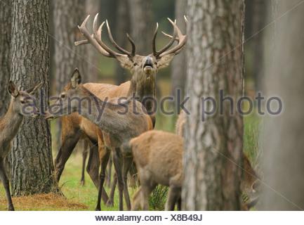 Red Deers (Cervus elaphus) in a forest, Bavaria, Germany - Stock Photo