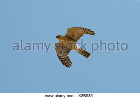 Sparrowhawk Accipiter nisus - male in flight - Stock Photo