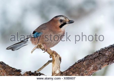 Jay (Garrulus glandarius) sitting on tree branch in winter, Tyrol, Austria - Stock Photo