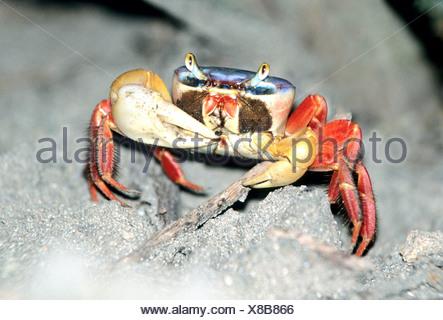 red land crab (Gecarcinus quadratus), Pacific coast, Costa Rica - Stock Photo