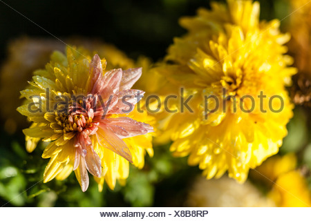 Withered Dahlia (Dahlia sp.), Hesse, Germany, Europe - Stock Photo