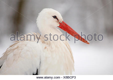 white stork (Ciconia ciconia), portrait in the snow, Germany, Hesse - Stock Photo