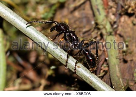 Bullet ant, Paraponera clavata, Costa Rica