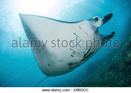 Reef Manta Ray, Manta alfredi, Komodo National Park, Indonesia - Stock Photo