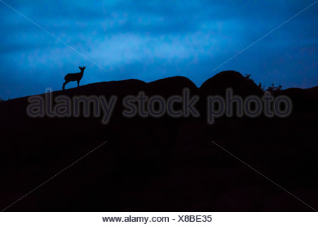Spain, Madrid, La Pedriza, young Spanish wild goat, capra pyrenaica, silhouette on top of rocks - Stock Photo