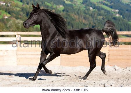 Thoroughbred Arabian horse, black stallion, trotting on sand in a round pen, North Tyrol, Austria, Europe - Stock Photo