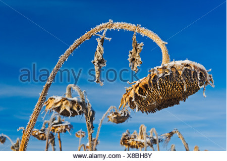close-up of sunflower head with frost on it, near Beausejour Manitoba, Canada - Stock Photo