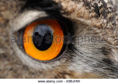 Detail van de kop van een oehoe, Detail of the head of an eagle owl - Stock Photo