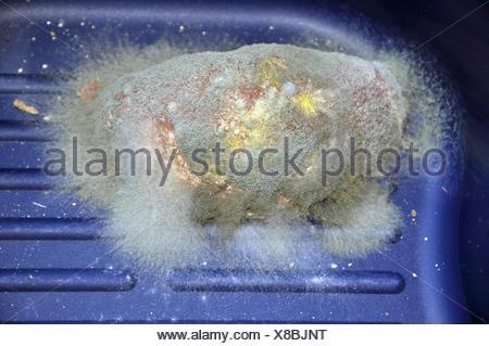 Brotschimmel, schimmel, schimmel, verschimmelt, verdorben, schimmlig, schimmelig, lebensmittel, schimmelpilz, schimmelpilze, bunt Stock Photo