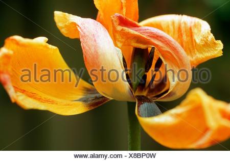 common garden tulip (Tulipa gesneriana), withered yellow tulip - Stock Photo