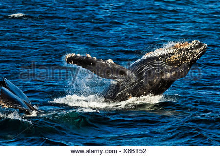 A pair of Humpback Whales,  breaching and lifting tail in the waters of Icy Strait, Glacier Bay National Park & Preserve, Alaska - Stock Photo