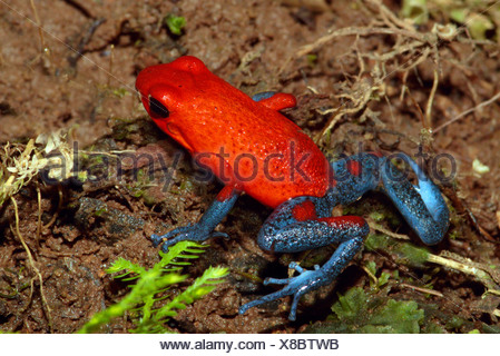 strawberry poison-arrrow frog, red-and-blue poison-arrow frog, flaming poison-arrow frog, Blue Jeans Poison Dart Frog (Dendrobates pumilio), sitting on forest ground, Costa Rica - Stock Photo