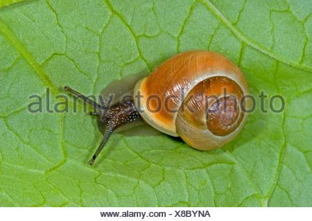 White-lip gardensnail, White-lipped snail, Garden snail, Smaller banded snail (Cepaea hortensis), banded snail on a leaf, Germany - Stock Photo