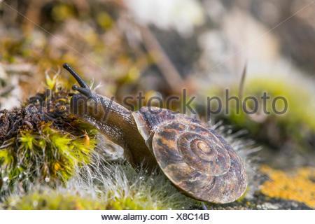 Lapidary snail (Helicigona lapicida, Chilotrema lapicida, Latomus lapicida), creeps among moss, Germany, Bavaria, Niederbayern, Lower Bavaria - Stock Photo