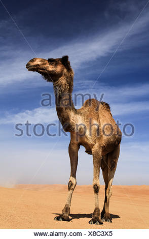 Camel in the desert, Wahiba Sands, Oman - Stock Photo
