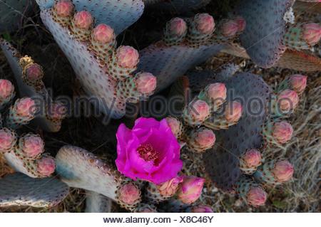 Beavertail Cactus, Opuntia basilaris, Joshua Tree, National Park, California, USA, United States, America, flower, red - Stock Photo