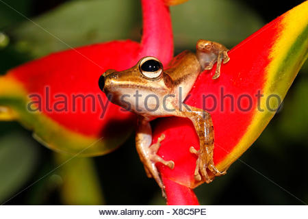 photo of a fourlined tree-frog on a Crab Claw Flower - Stock Photo