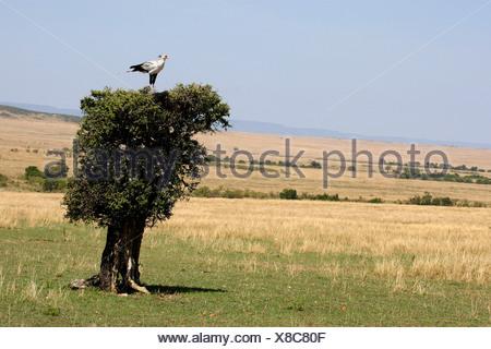 secretary bird, Sagittarius serpentarius (Sagittarius serpentarius), sitting on top of a single tree in the savannah, Kenya, Masai Mara National Park - Stock Photo
